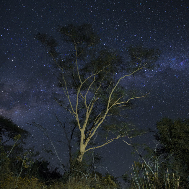 """""""Fever tree under night skies in South Africa"""" stock image"""