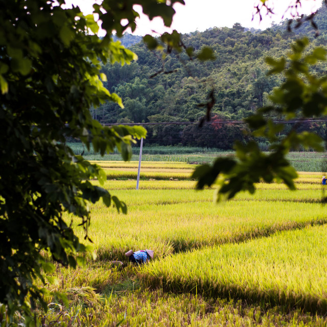 """Farmer picking rice in the field in Guangxi province, China"" stock image"