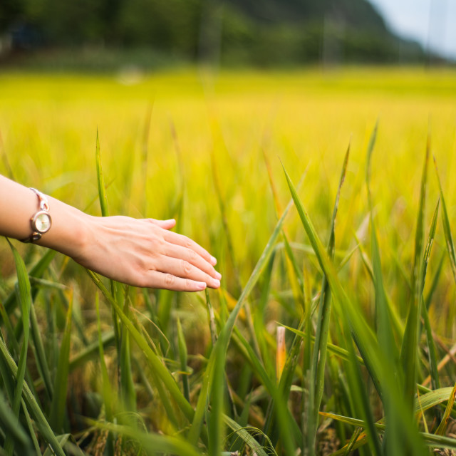 """Female hand touching rice field plants"" stock image"