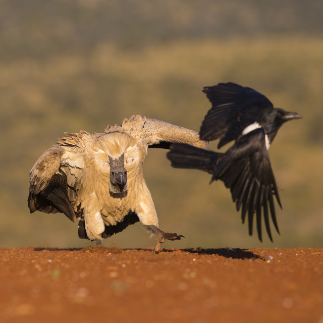 """""""White-backed Vulture chasing off a Pied Crow"""" stock image"""