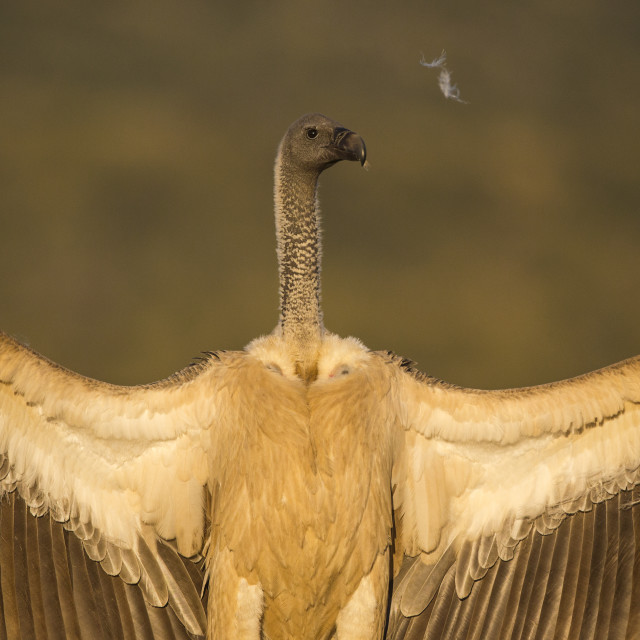 """Displaying White-backed Vulture"" stock image"