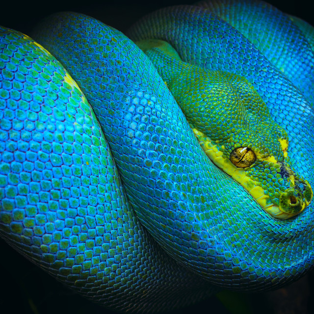 """Blue phase green tree python, Morelia viridis"" stock image"