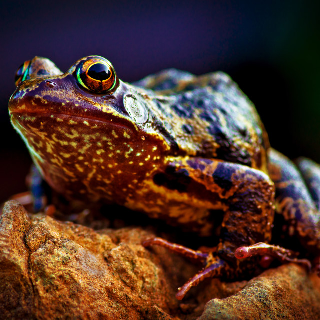 """European common frog, Rana temporaria"" stock image"