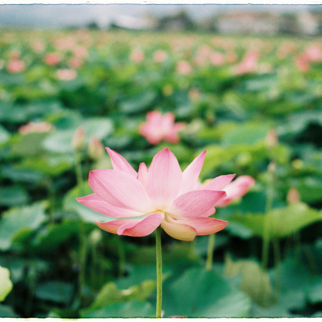 """Lotus flower"" stock image"
