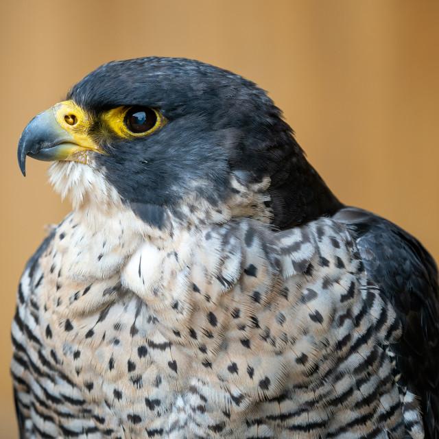 """The peregrine falcon (Falco peregrinus) bird of prey portrait."" stock image"