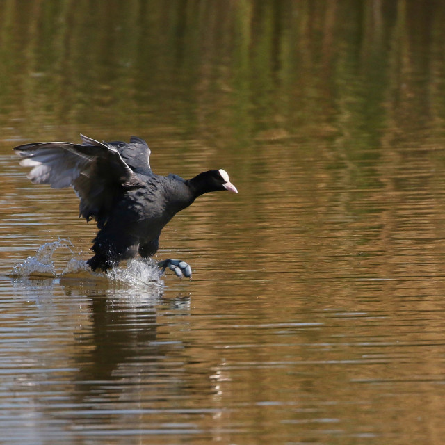 """""""Coot running on water"""" stock image"""