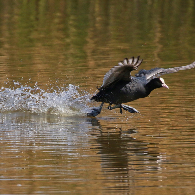 """""""Coot on water"""" stock image"""