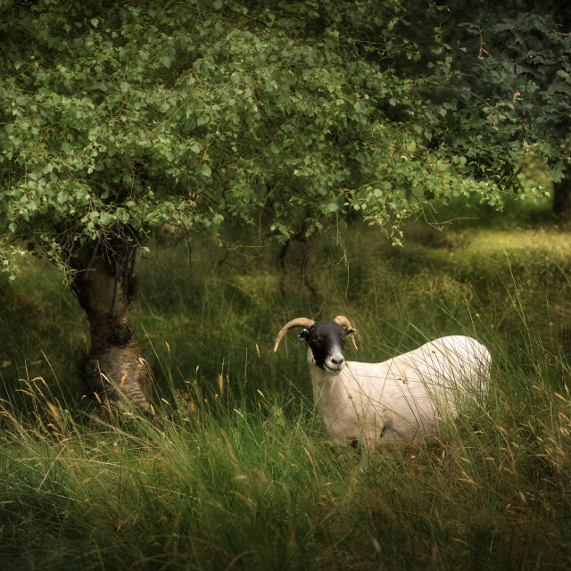 """Wandering Sheep"" stock image"