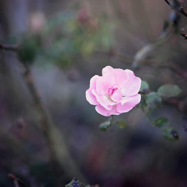 """""""Pink Asian Rose Blooming a Garden in the Early Evening"""" stock image"""