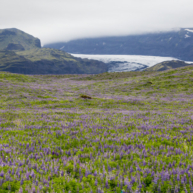 """""""River of ice and river of purple flowers"""" stock image"""