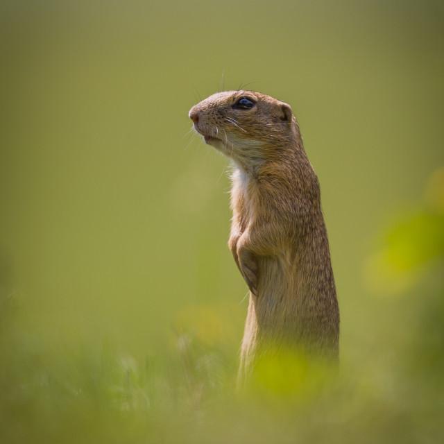 """European ground squirrel"" stock image"