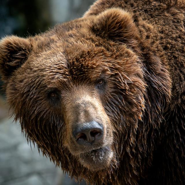 """""""Kamchatka Brown bear (Ursus arctos beringianus). Brown fur coat, danger and..."""" stock image"""