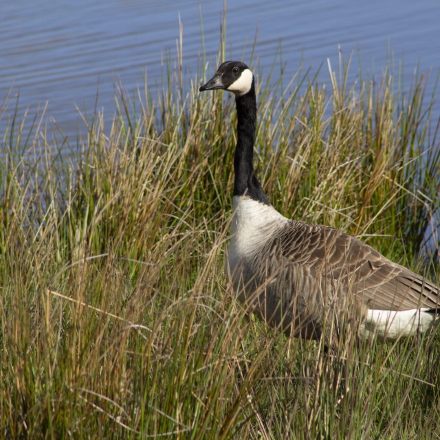 """Canada Goose side view"" stock image"
