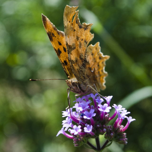 """""""Comma Butterfly Feed"""" stock image"""