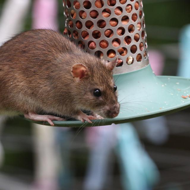 """Rat on a bird feeder"" stock image"