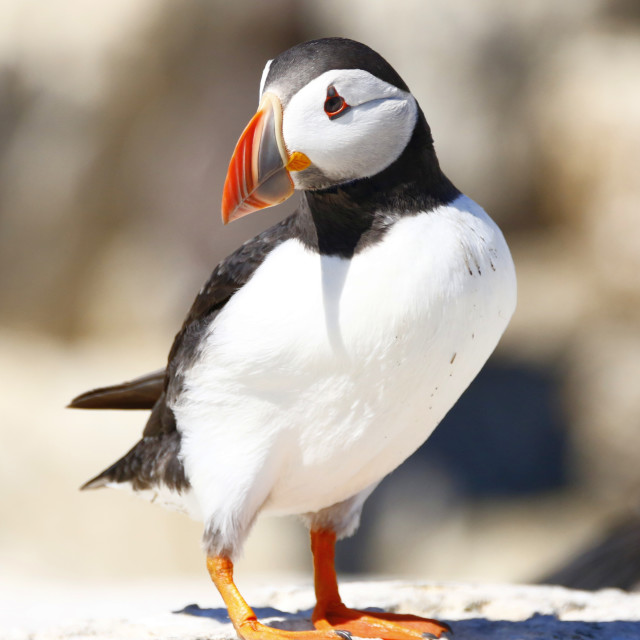 """""""Puffin looking cute"""" stock image"""