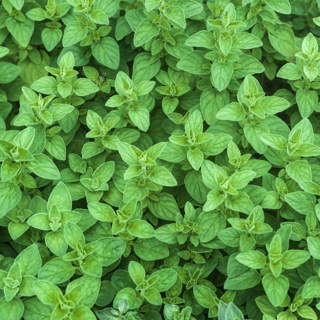"""Mint growing in a nursery"" stock image"