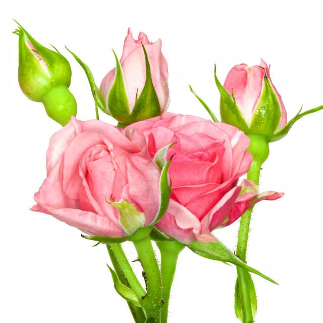 """Rose Buds"" stock image"