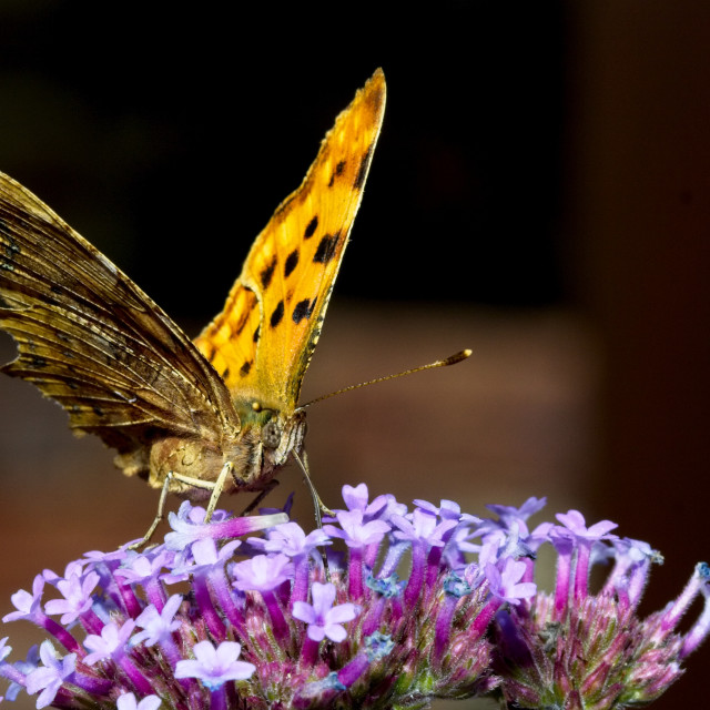 """""""Comma butterfly (Polygonia c-album)"""" stock image"""