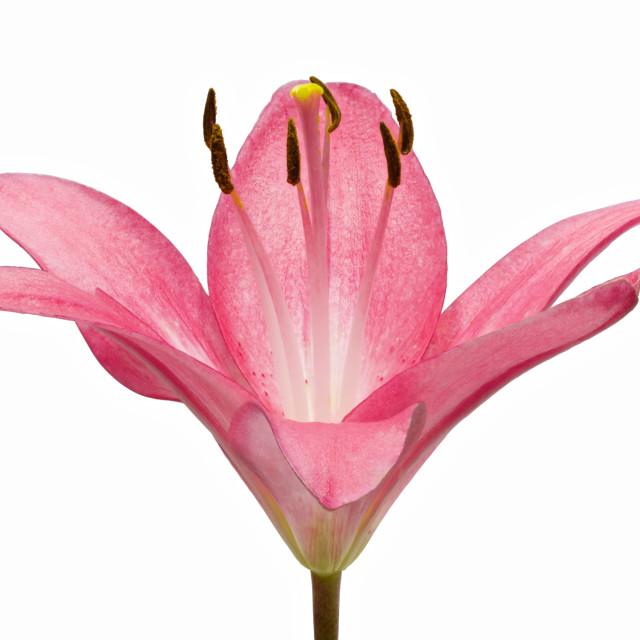 """""""Lilium"""" stock image"""