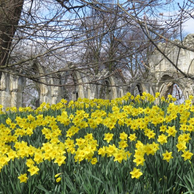 """Daffodils in Museum Gardens, York"" stock image"