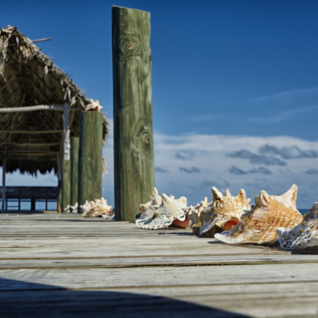 """Conch shells"" stock image"