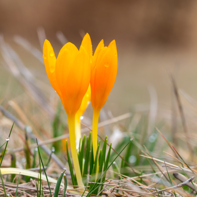 """Dutch Yellow Crocus - Crocus flavus"" stock image"