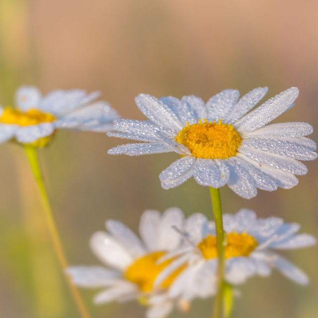"""Dew Covred Scentless Feverfew Wild Flower"" stock image"