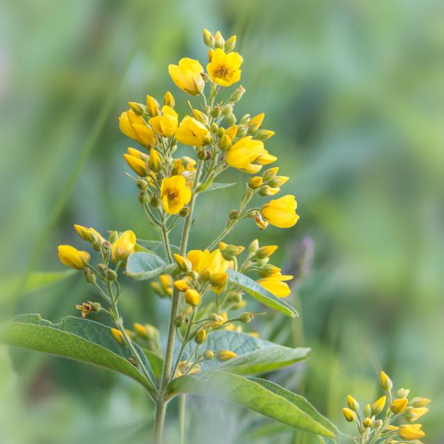 """Yellow loosestrife"" stock image"