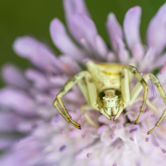 """Flower Crab Spider"" stock image"
