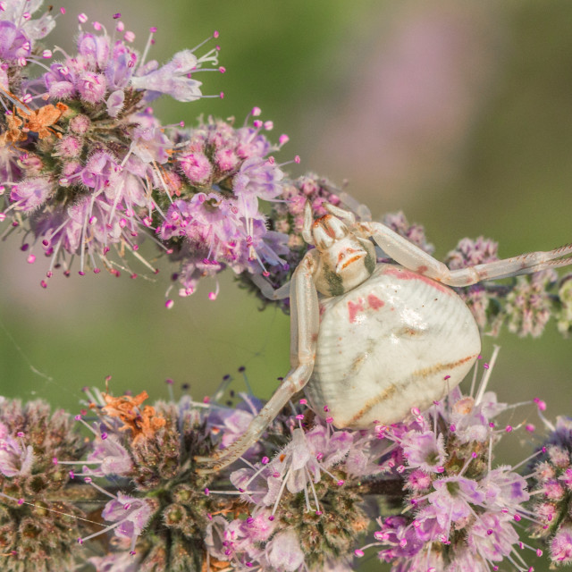 """Well camouflaged crab spider - Thomisus onustus"" stock image"