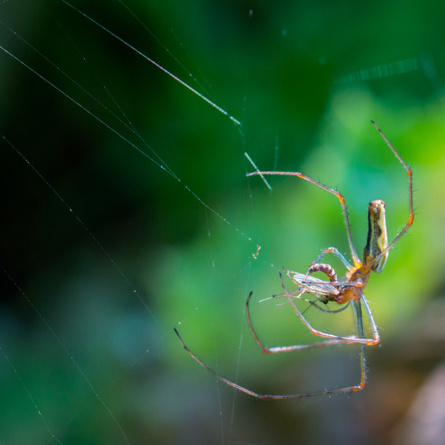 """Long jawed orb weaver"" stock image"