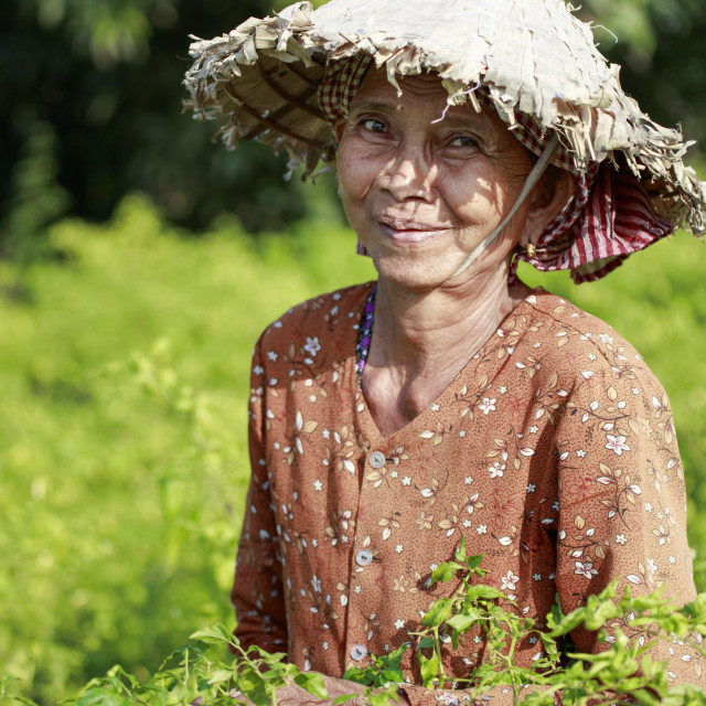 """Woman in a conical hat harvesting chilli peppers in a field in rural Kampot"" stock image"