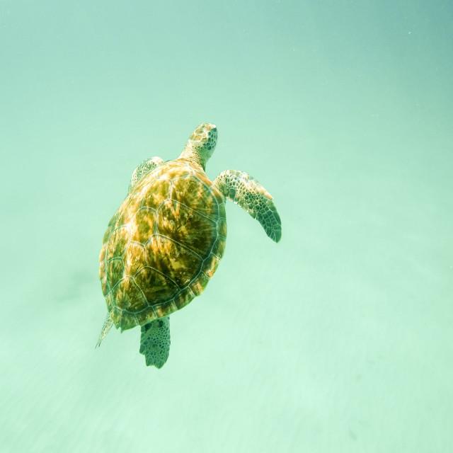 """Hawksbill Turtle"" stock image"