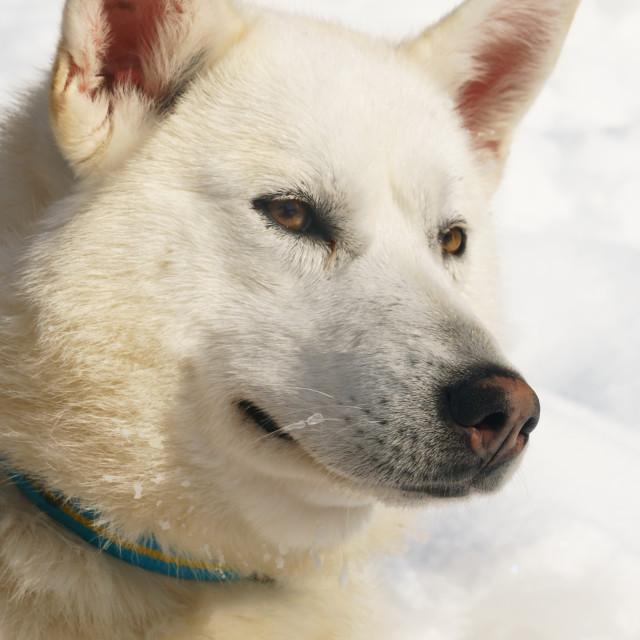 """Close-up head shot of husky dog, Hercules, Husky Farm (Property Release),..."" stock image"