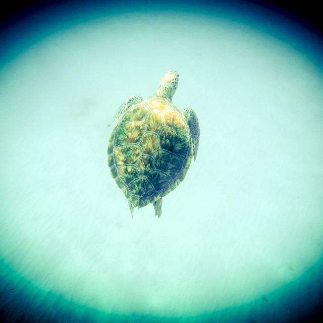 """Hawksbill Turtle Barbados"" stock image"