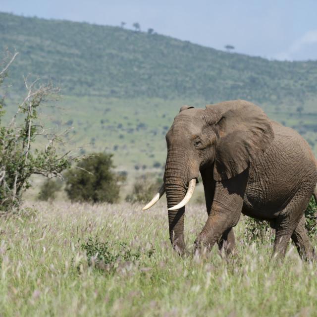 """""""African elephant, Loxodonta africana, Tsavo, Kenya."""" stock image"""