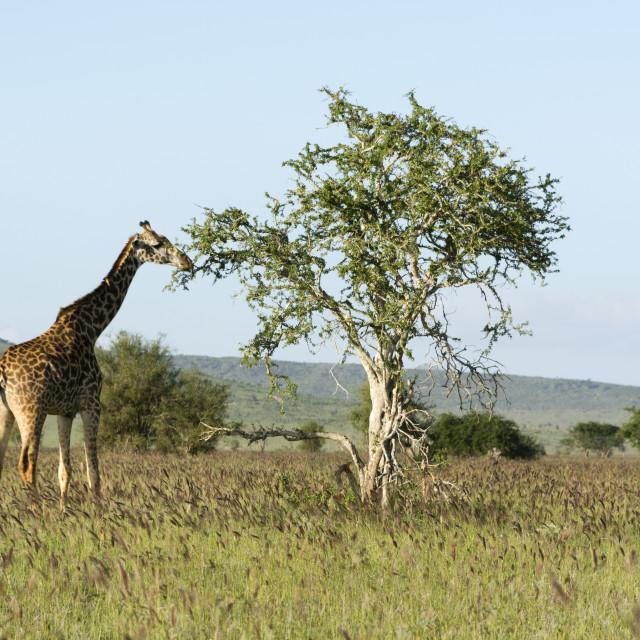 """""""Masai giraffe, Giraffa camelopardalis, Tsavo, Kenya."""" stock image"""