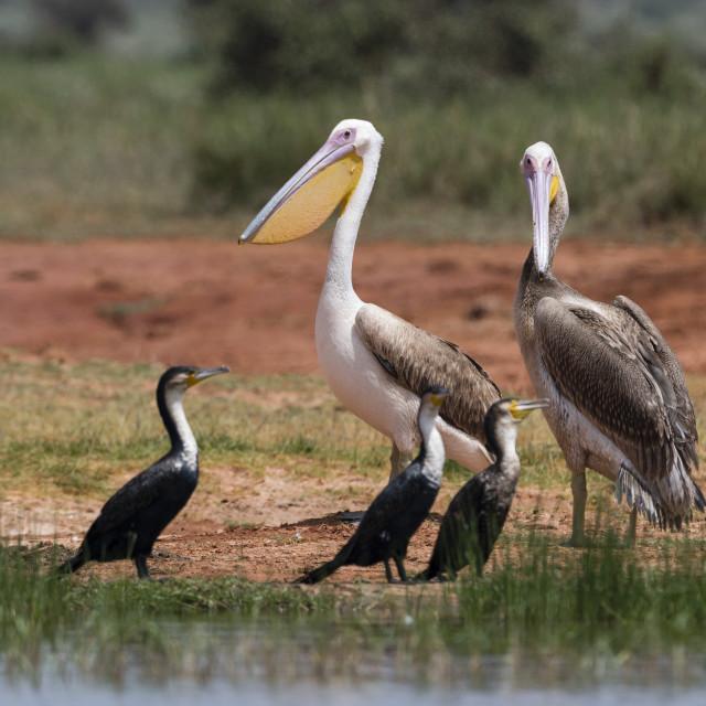 """""""Great white pelican, Pelecanus onocrotalus, Tsavo, Kenya."""" stock image"""