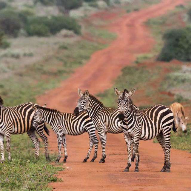 """Plains zebras (Equus quagga), Tsavo, Kenya."" stock image"
