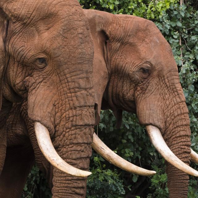 """African elephants (Loxodonta africana), Tsavo, Kenya."" stock image"