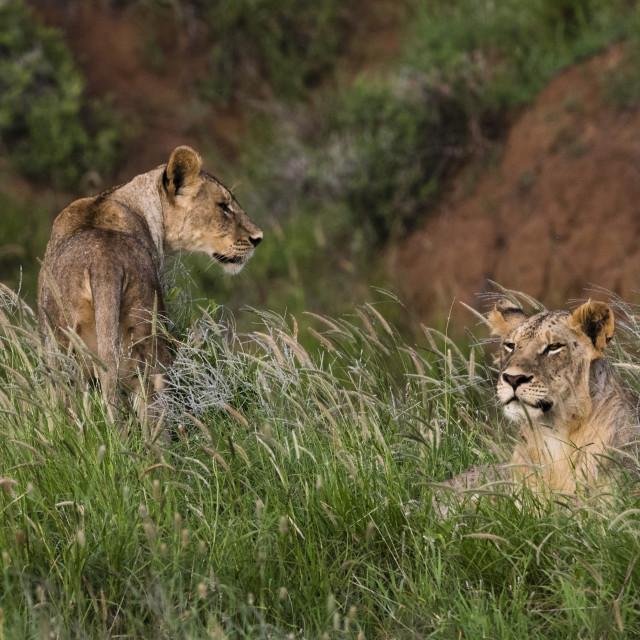 """""""Lions (Panthera leo), Tsavo, Kenya."""" stock image"""