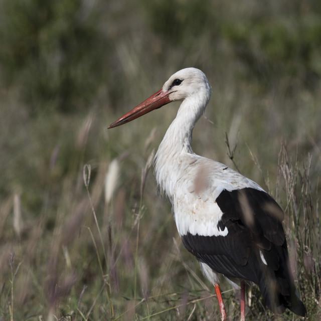 """White stork (Ciconia ciconia), Tsavo, Kenya."" stock image"