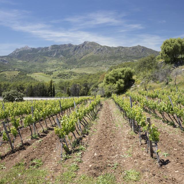 """Vineyard set below mountains of the Sierra de Grazalema Natural Park, Zahara..."" stock image"