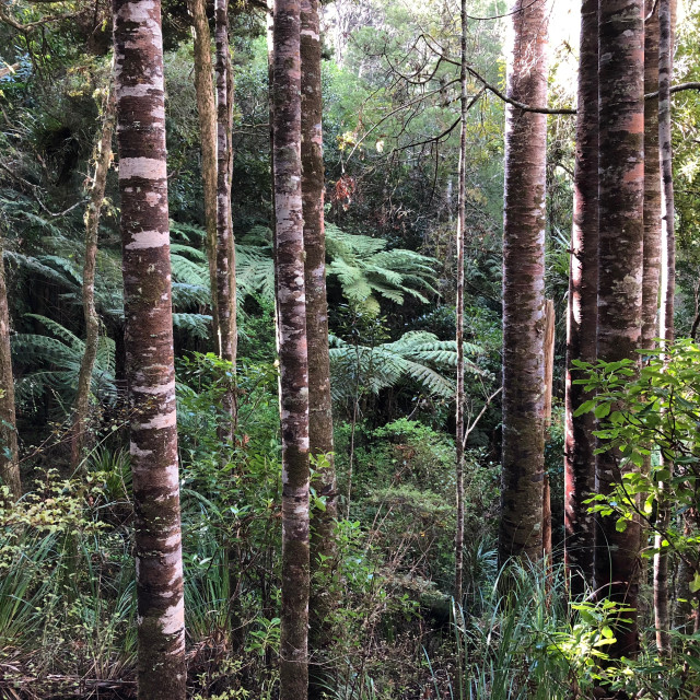"""""""Kauri Forest"""" stock image"""
