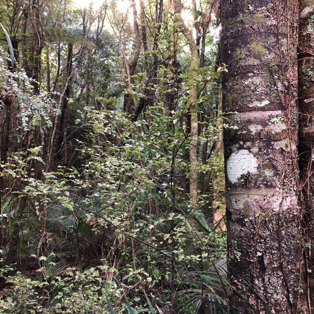 """""""Kauri Tree"""" stock image"""