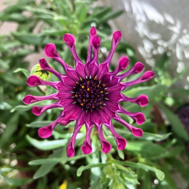 """Osteospermum Nasinga Purple flower"" stock image"
