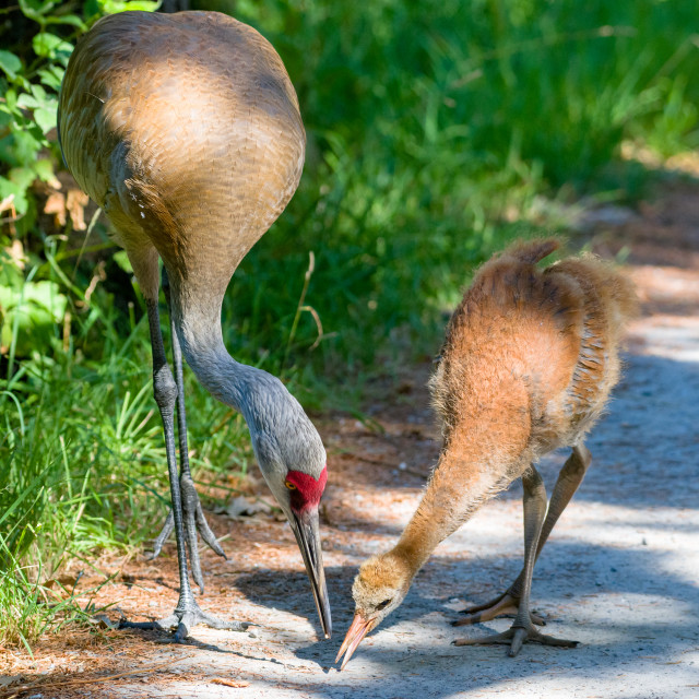 """Sandhill Crane dad gives seed to his colt"" stock image"