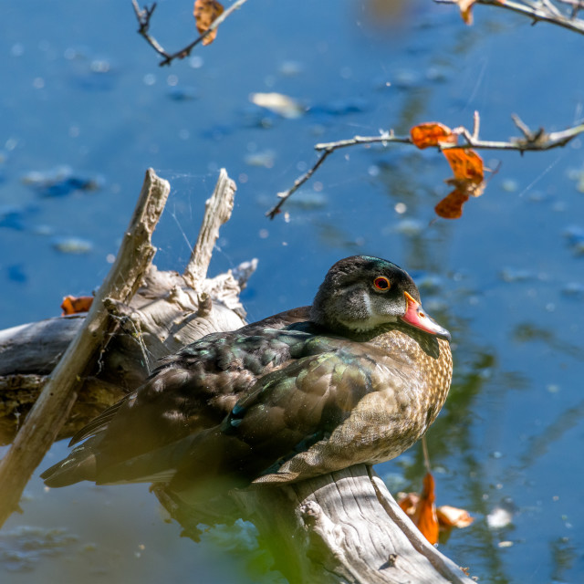 """Young male wood duck rests on a log beside the marsh"" stock image"