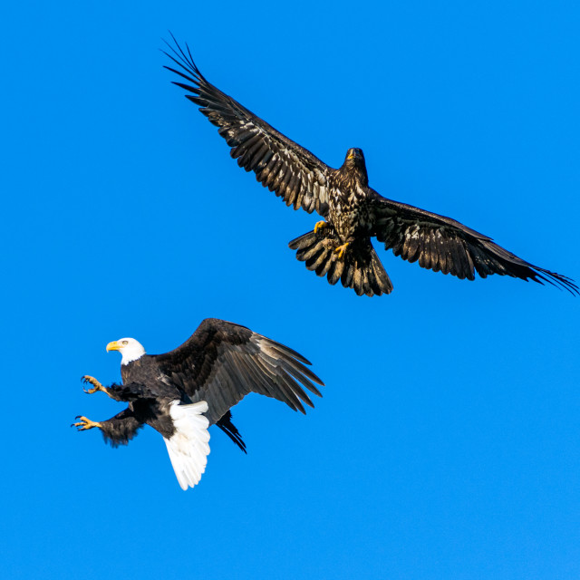 """A mature bald eagle attacks a young eagle but misses"" stock image"